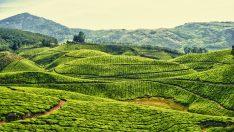 Yeni Bioyakıt Çay