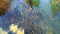Deniz Yosunlarından Biyoyakıt Üretimi