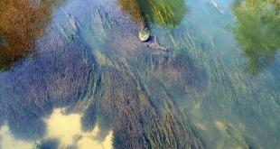 river algae 242169 640 310x165 - Deniz Yosunlarından Biyoyakıt Üretimi